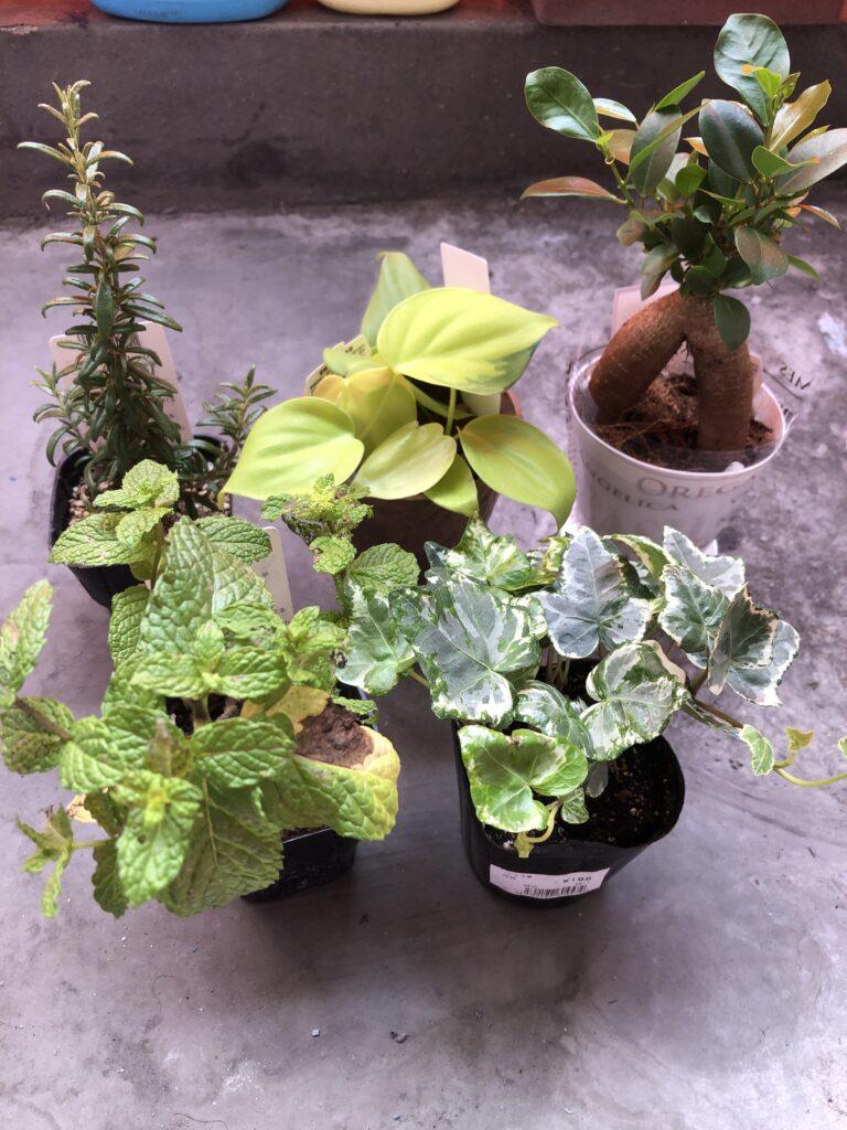買ってきた観葉植物